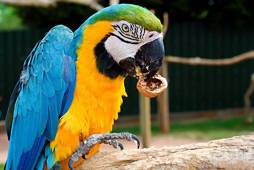 Blue And Yellow Macaw, Bird, Parrot, Blue, Yellow
