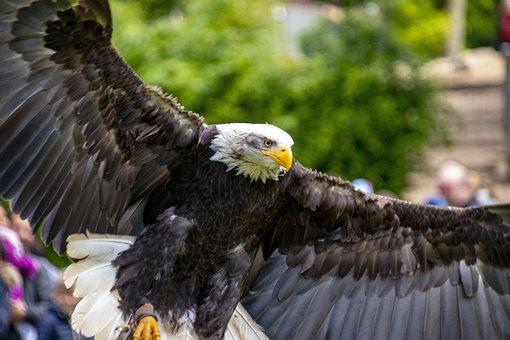 Adler, Flight, Raptor, Bird Of Prey, Flying, Bird