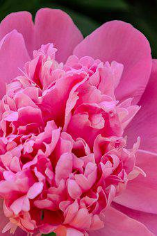 Peony, Flower, Bud, Bloom, Pink, Flora, Garden, Spring