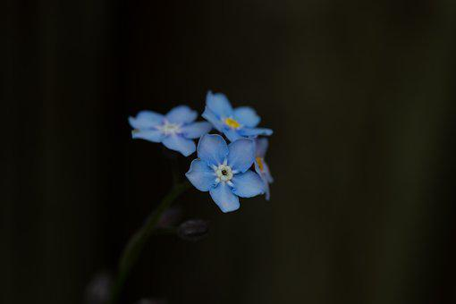 Forget Me Not, Flower, Blossom, Bloom, Blue, Close Up