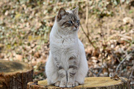 Cat, Cat Sitting, Cat Beautiful Posture, Blue Eyes