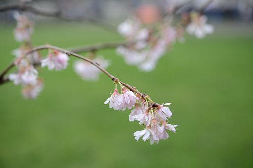 Cherry Blossom, Flower, Cherry Blossoms, Pink, Natural