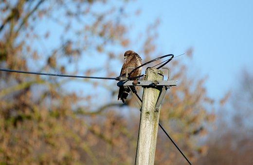 Common Buzzard, Bird Of Prey, Bird, Nature, Hunter