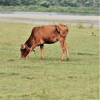 Cow, Brown, Cattle, Graze, Grass, Mammal
