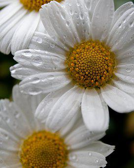 Daisy, Spring, Bloom, White, Nature, Daisies, Blossom