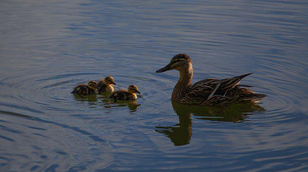 Ducklings, Duck, Mallard, Duckling, Cute, Nature