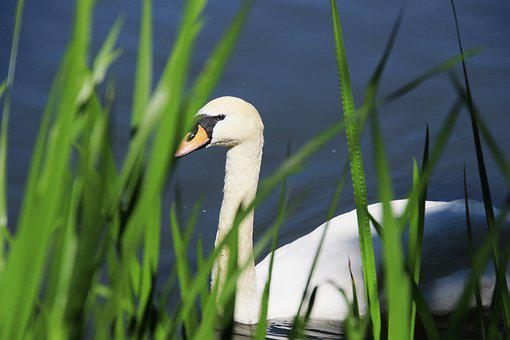 Swan, Animal, Nature, Water, Lake, Swim, Feather
