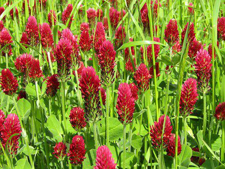 Klee, Field, Meadow, Forage Clover, Large Clover