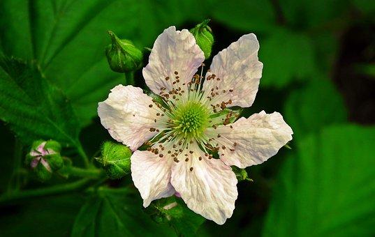 Blackberry Bezkolcowa, Flower, Plant, Blossoming, Fruit