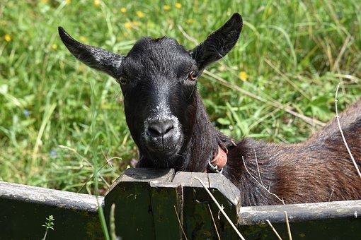 Goat, Herbivore, Ruminants, Mammal, Black Color