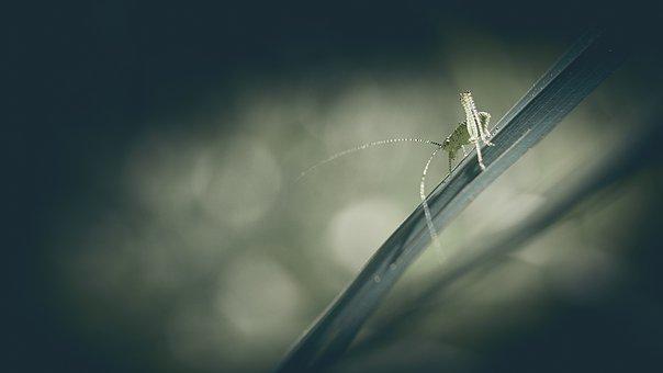 Grasshopper, Insect, Antennas, Animals, Cricket, Nature