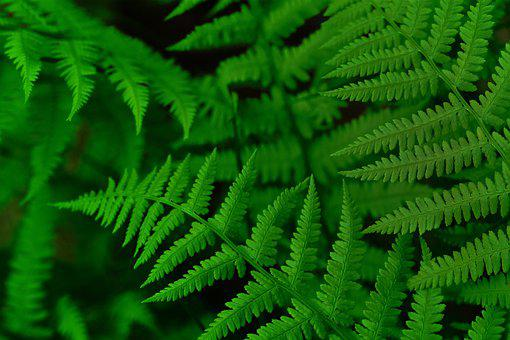 Fern, Forest, Nature, Green, Leaves, Fiddlehead