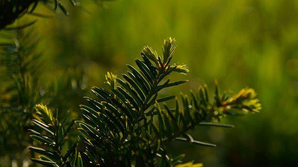 Nature, Plants, Green, Twigs, Needles, The Buds, Young