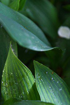 Leaves, Greens, Drops, Krupnyj Plan, Lily Of The Valley