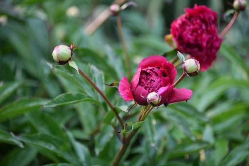 Peony, Flower, Bloom, Color, Leaf, Plant, Growth, Life