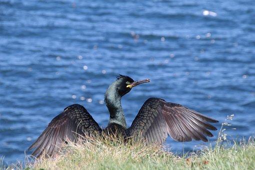 Nature, Shag, Bird, Feather, Wildlife, Scotland, Lunga