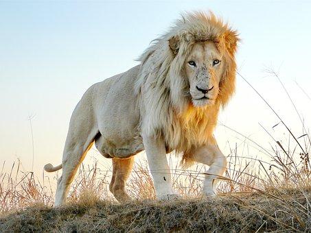 Male Lion, Males, Big Cat, Wildlife, Animal, King
