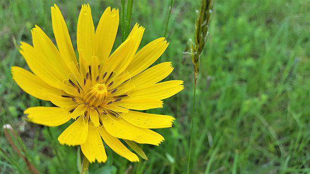 Hadomor, Yellow, Aster Family, Flower, Plant, Meadow