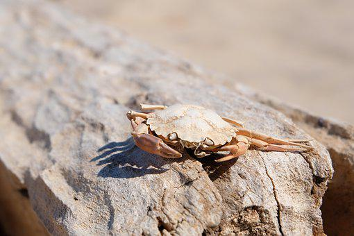 Crab, Cancer, Shellfish, Meeresbewohner, Public Record