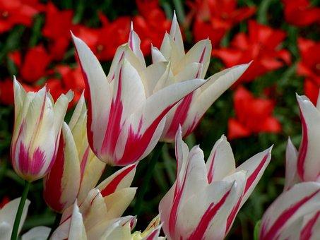 Holland, Netherlands, Keukenhof, Tulips, Red, Weis