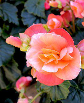 Begonia, Pink, Tuberous, Flowers, Begoniaceae