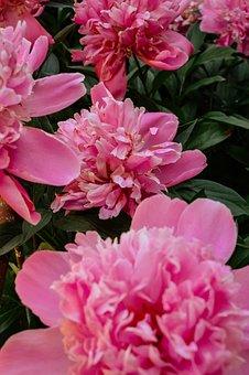 Peonies, Peony, The Buds, Garden, Gardening, Pink
