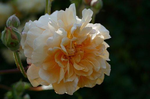 Rose Buff Beauty, Garden, Bloom, Plant, Spring, Petals