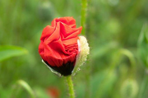 Poppy, Klatschmohn, Red, Bud, Poppy Flower, Wild Flower