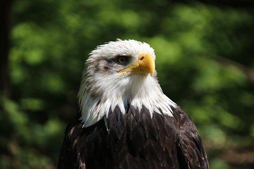 Adler, Raptor, Bird, Bird Of Prey, Bill, Bald Eagle