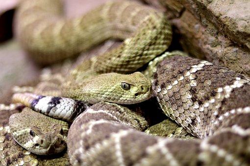 Snakes, Diamond Back Rattle Snake, Rattle Snake