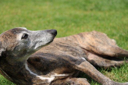 Dog, Whippet, Annealed, Lying, Rest, Garden, Lie, Hound