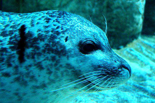 Seal, Underwater, Blue, Green, Turquoise, Water, Sand
