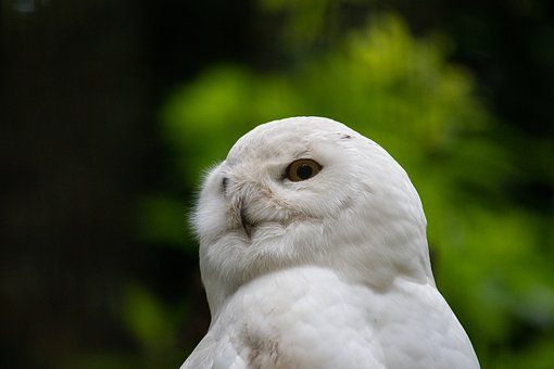 Snowy Owl, Owl, Bird, Animal, Animal World, White