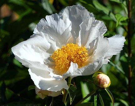 Peony, Blossom, Bloom, White, Flower, Nature, Spring