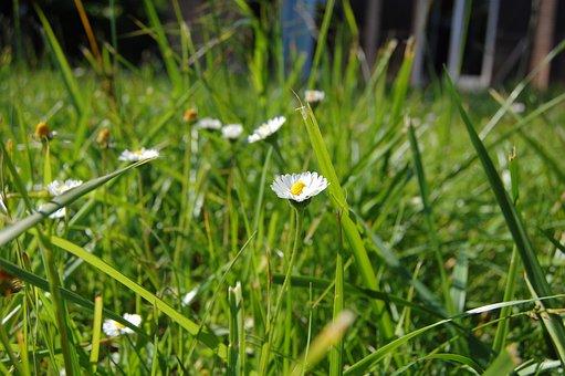 Daisies, Flower, Garden, Spring, Summer, Marguerite