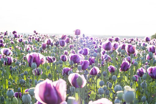 Poppy, Poppyhead, Green, Summer, Plant, Field, Stems