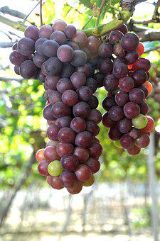 Grapes, Vineyard, Ninh Thuan, Violet, Sunny