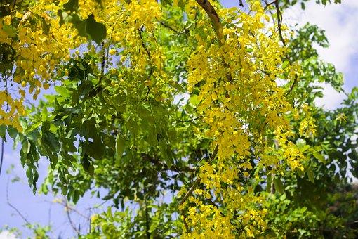 Vietnam, Yellow Flower, Tree, Cassia Fistula