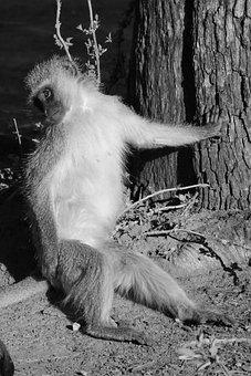 Vevet Monkey, Monkey, Portrait, Animal Portrait, Animal