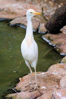 Heron, Rusohlavá, Bird, Brodivý, Water, Animal, White