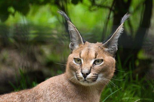 Animal, Cat, Karakal, Desert Lynx, Animal World