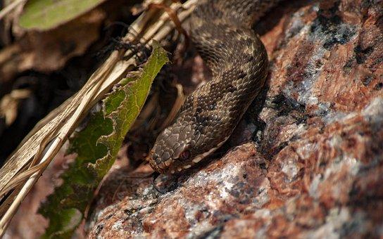 Viper, Snake, Toxic, Animal