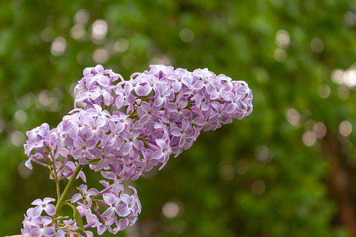 Flowers, Lilac, Bloom, Spring, Garden, Flora, Aromatic