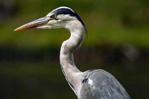 Grey Heron, Heron, Bird, Animal, Pen, Beak, Nature