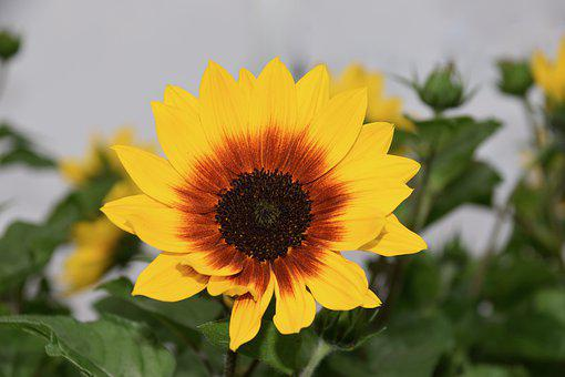 Flower, Helianthus Sunbelievable, Big Flower