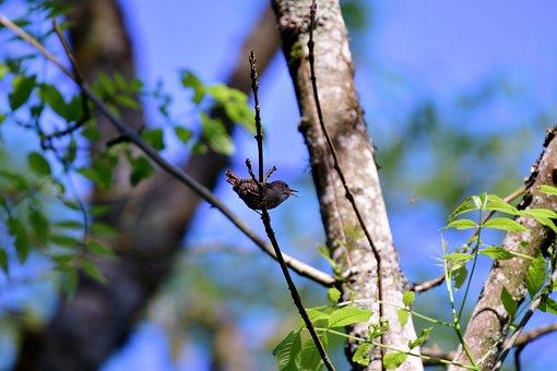 Willow Wren, Bird, Nature, Tuinvogels