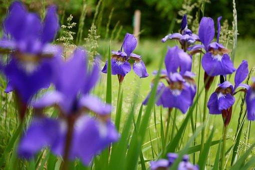 Iris, Flower, Wildflowers, Group, Colorful, New, Bloom