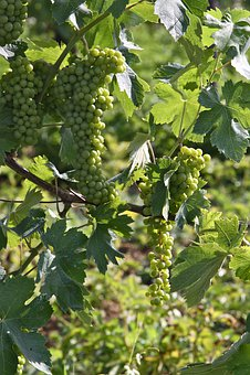 Grapes, Spring, Nature, Flora, Bloom, Leaf, Screw