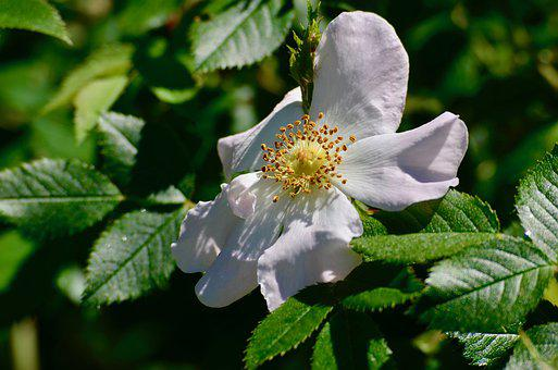 Wood Anemone, Garden, Flower, Blossom, Bloom, White