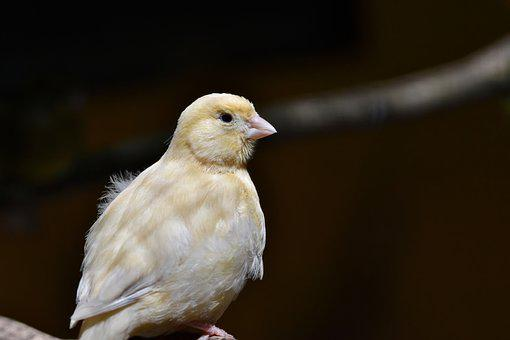 Canary, Songbird, Bird, Bill, Animal, Plumage, Feather
